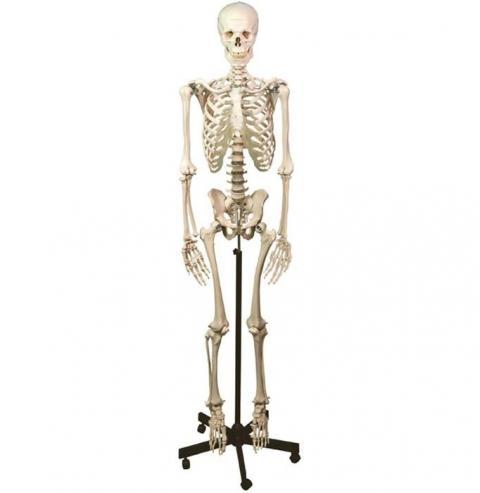 Scheletri e Modelli di ossa