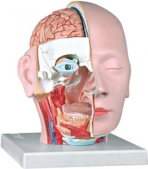 Modellini Anatomici