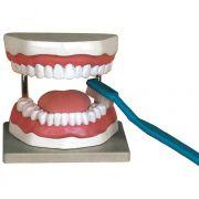 Modellino anatomico igiene dentale
