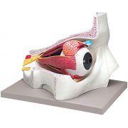Modellino anatomico occhio 4 parti