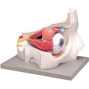 Modellino anatomico occhio 11 parti
