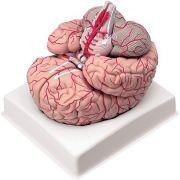 Cervello con arterie